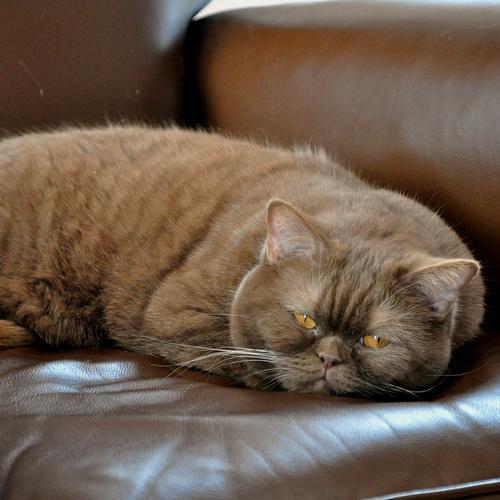 Choupette : un chat heureux