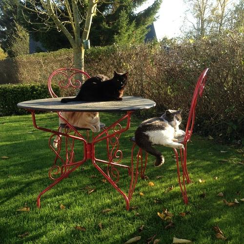 Crocus, Baccara et Cookie : des chats affectueux
