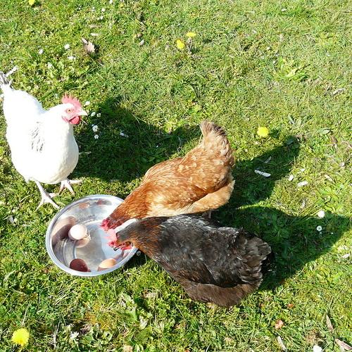 Des poules actives, gardées par nos partenaires retraités