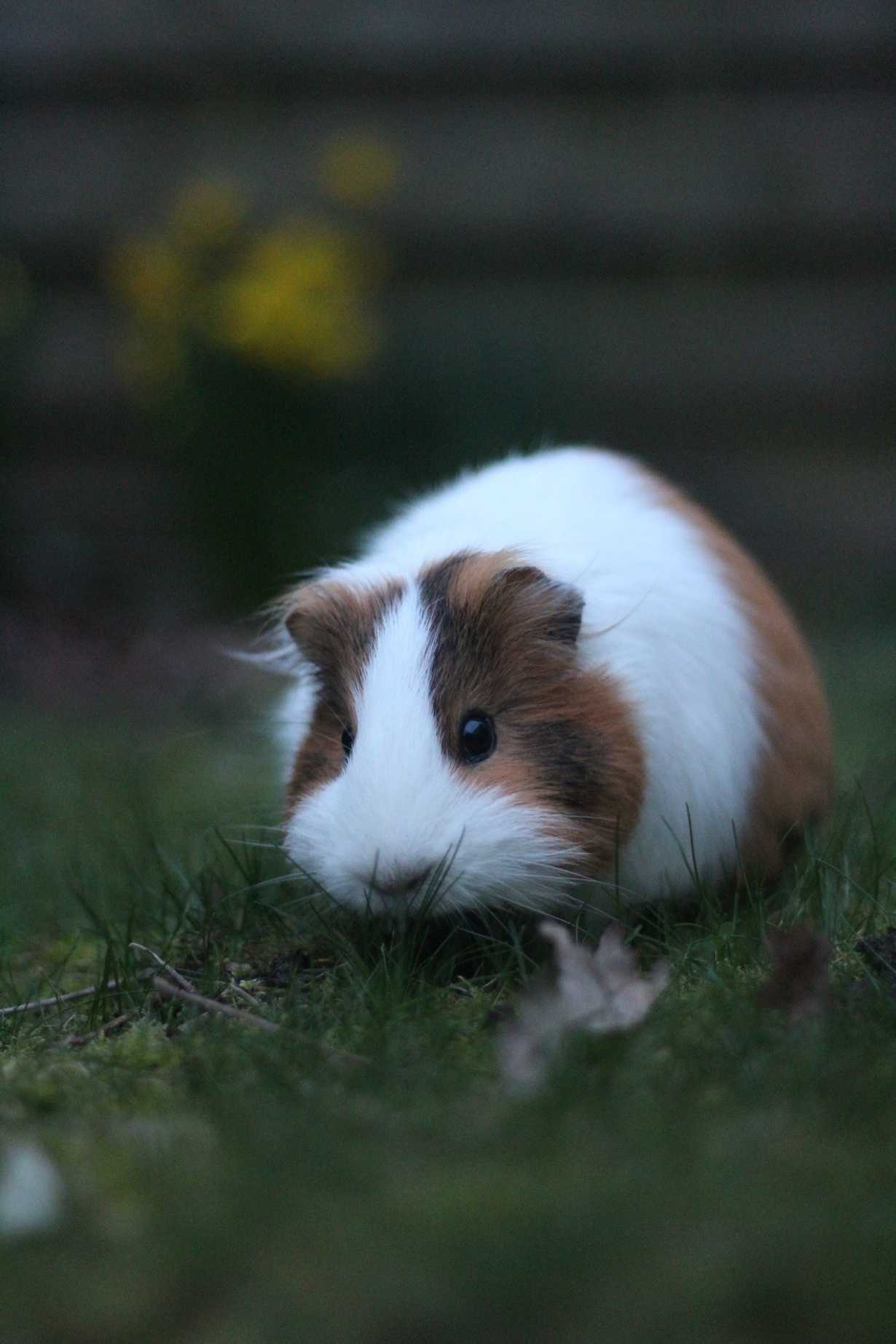 minnie : un cochon d inde
