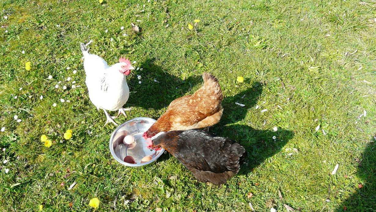des poules actives, gardees par nos partenaires retraites