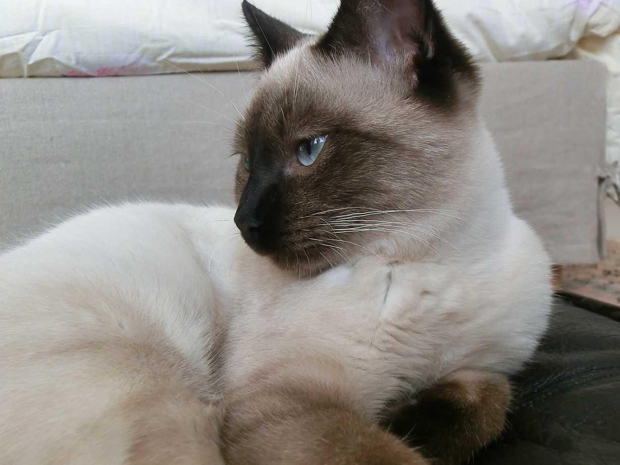 nos partenaires retraites ont pris soin des lieux et de ses habitants : marduk un chat siamois