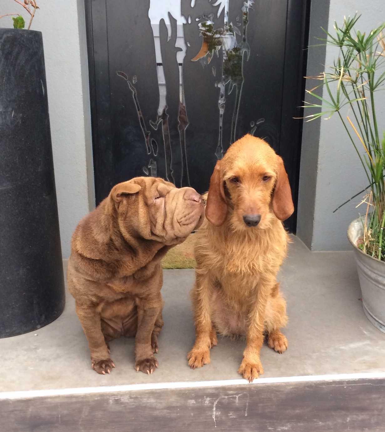 lop et yoko : des chiens inseparables